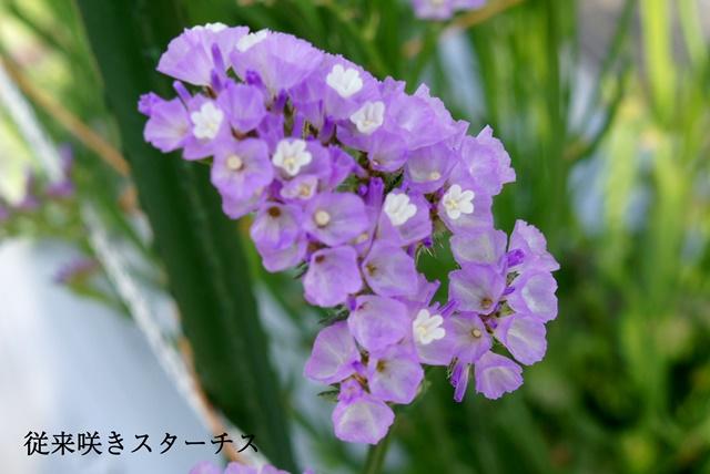 従来咲き スターチス